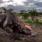 Rinoceronte mutilato vince Wildlife Photographer of the Year 2017